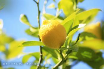 レモンの木 南伊豆