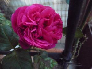 rose2010s_1.jpg