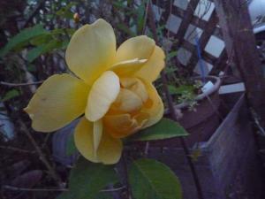 rose2010s_2.jpg