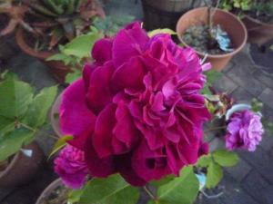 rose2010s_3.jpg