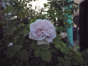 rose2010s_4.jpg