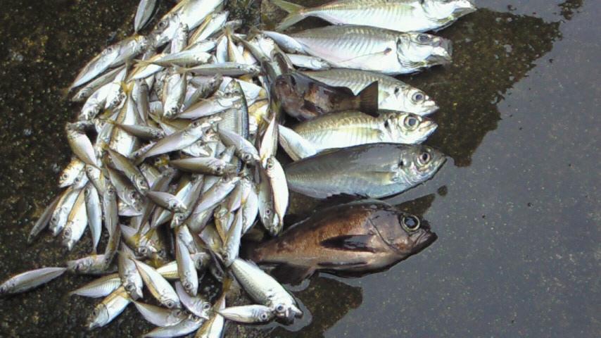 舞鶴湾小鰺釣り