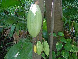 250px-Theobroma_cacao-frutos.jpg