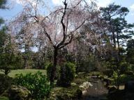 兼六園・桜 3