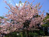 兼六園・桜 1