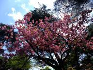 兼六園・桜 2