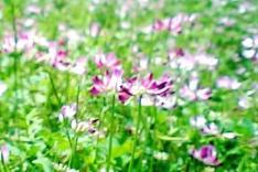 flor del lotos