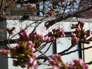 2012・3桜