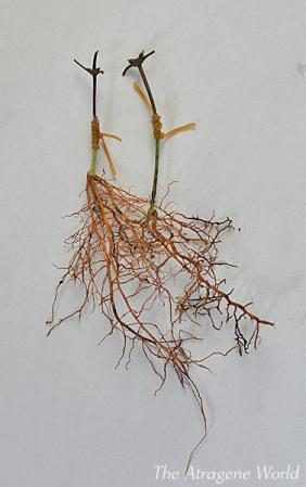 Duskygrafting-apifolia0710201001.jpg