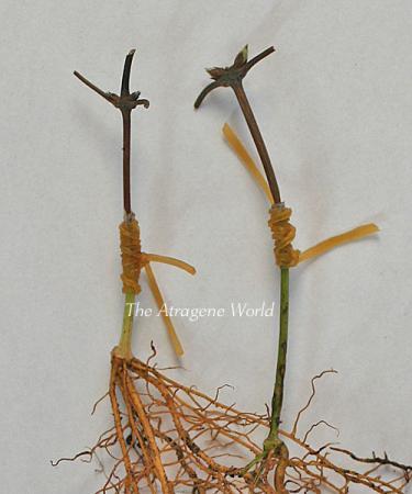 Duskygrafting-apifolia0710201002.jpg