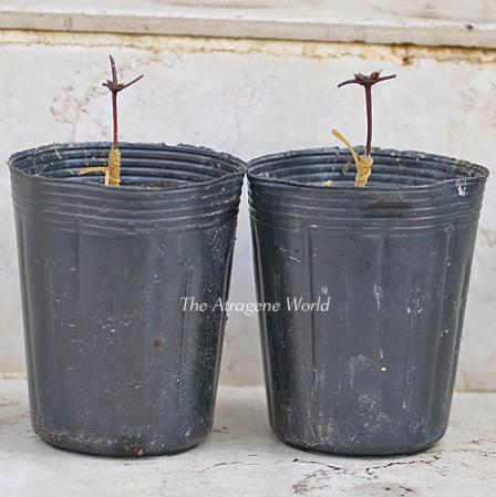 Duskygrafting-apifolia0710201003.jpg