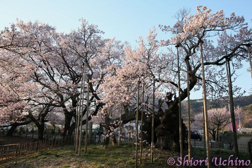 山高 神代桜