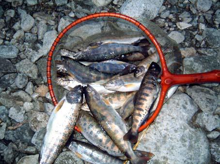 成魚アマゴ