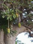 木になるバオバブの実