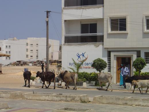 牛の散歩3