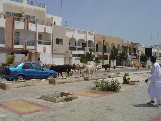 牛の散歩2