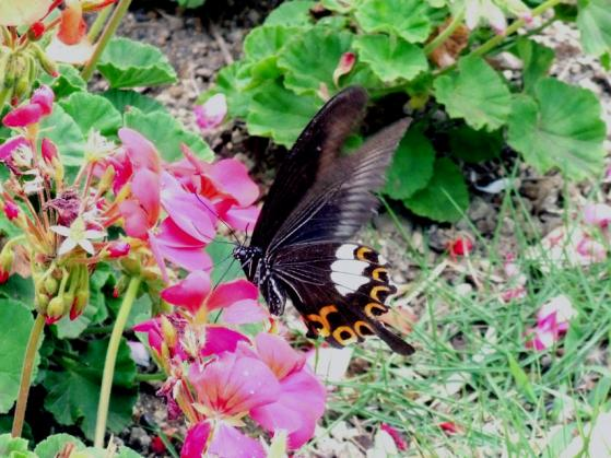 サムエルコッキング苑内の花々と蝶
