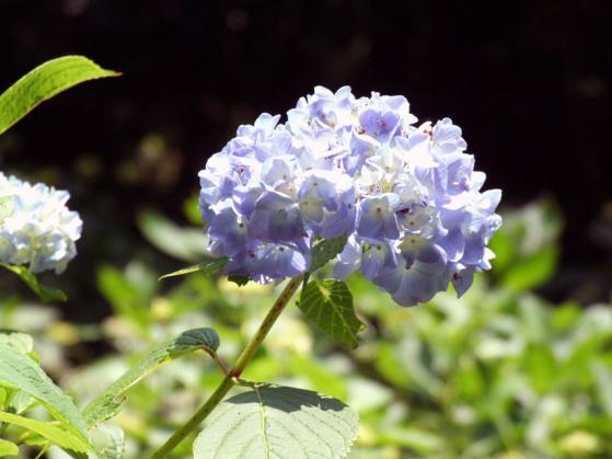 二宮・吾妻山公園の紫陽花(1)