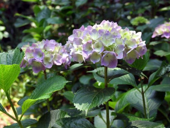 二宮・吾妻山公園の紫陽花(2)
