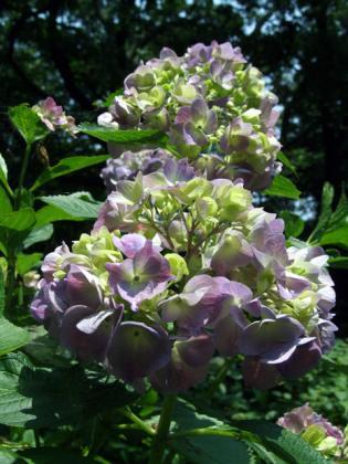二宮・吾妻山公園の紫陽花(3)