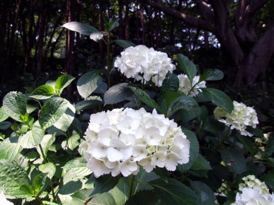 二宮・吾妻山公園の紫陽花(4)