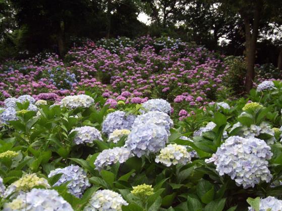 東京ドイツ村の紫陽花(2)
