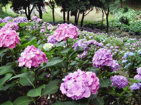東京ドイツ村の紫陽花(3)