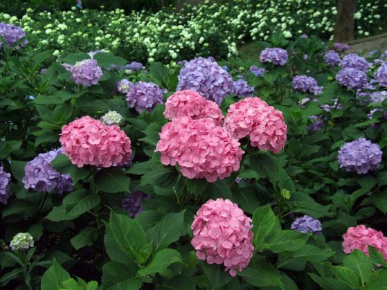 東京ドイツ村の紫陽花(4)
