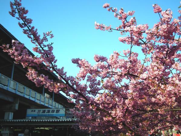 三浦海岸駅前の桜