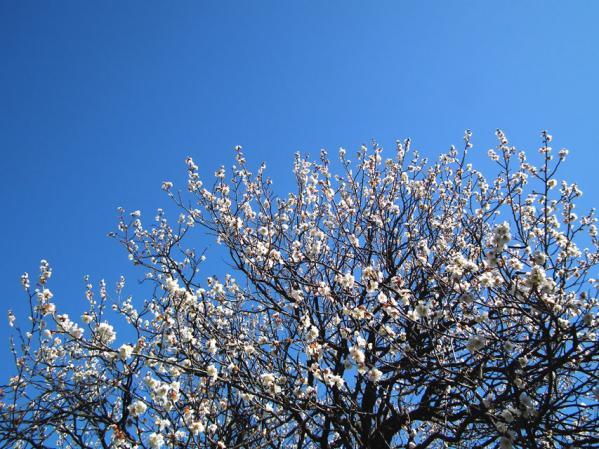 向島百花園の梅(1)