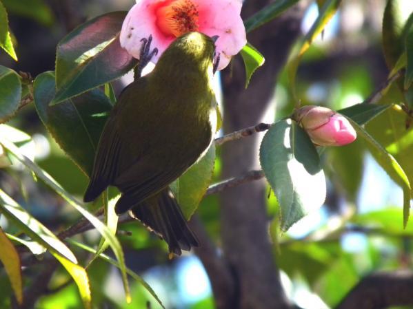 向島百花園の椿の花を突くメジロ