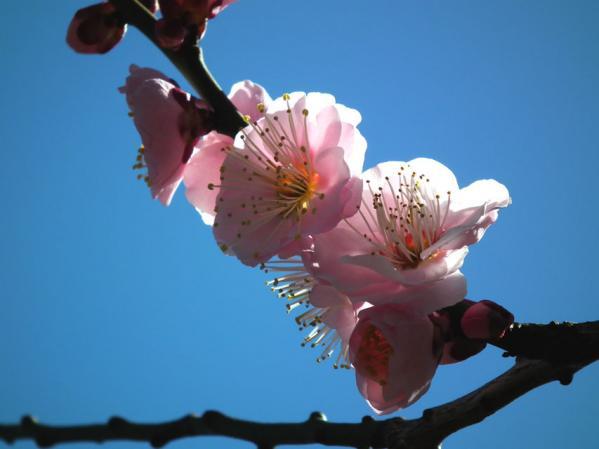 向島百花園の梅アップ写真(1)