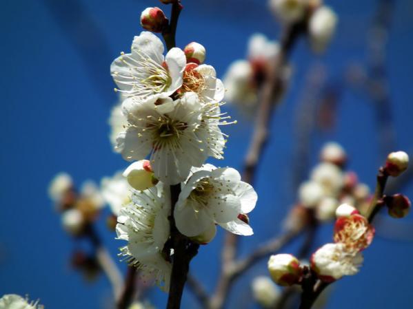 向島百花園の梅アップ写真(2)