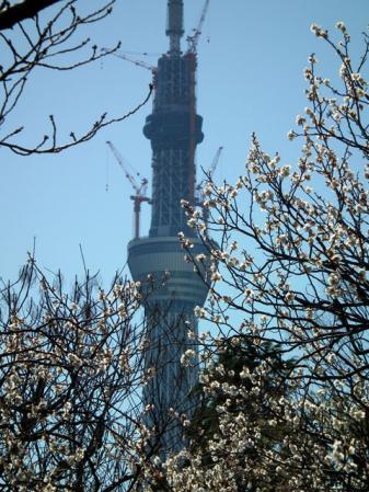 向島百花園の梅と東京スカイツリー