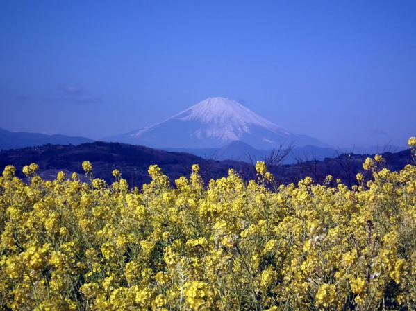 二宮 吾妻山山頂にて菜の花と富士山(1)