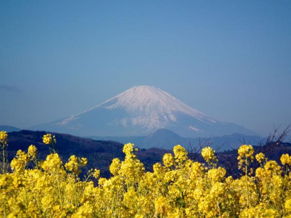二宮 吾妻山山頂にて菜の花と富士山(2)