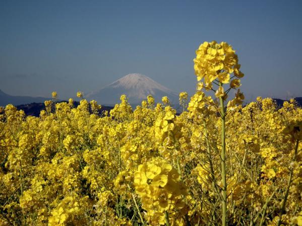 二宮 吾妻山山頂にて菜の花と富士山(3)