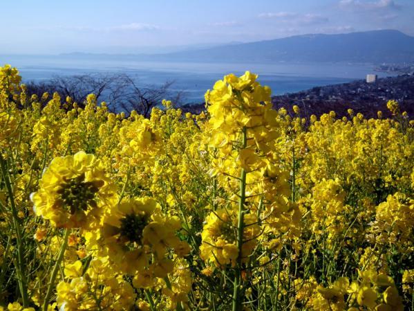 二宮 吾妻山山頂にて、菜の花と相模湾