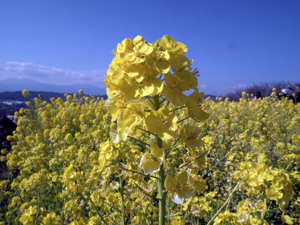 二宮 吾妻山山頂にて、菜の花のアップ写真(1)
