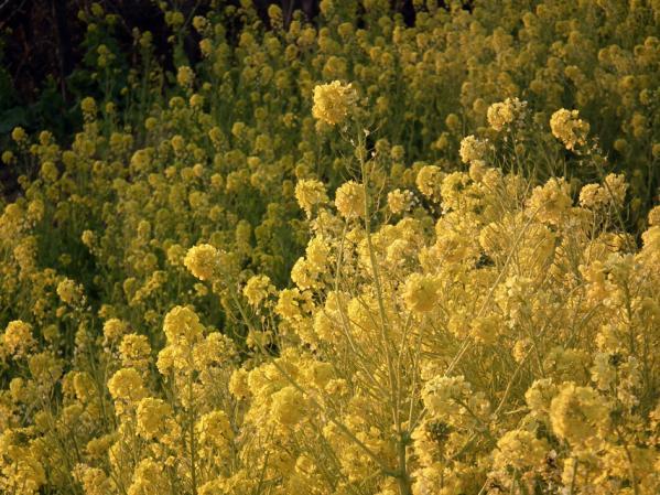 二宮 吾妻山山頂にて、菜の花のアップ写真(2)