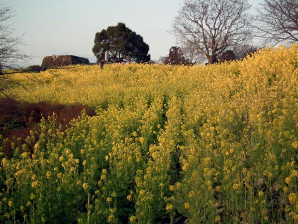二宮 吾妻山山頂にて、菜の花畑を望む