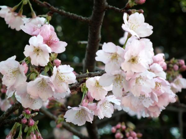 三ッ池公園の寒桜(1)