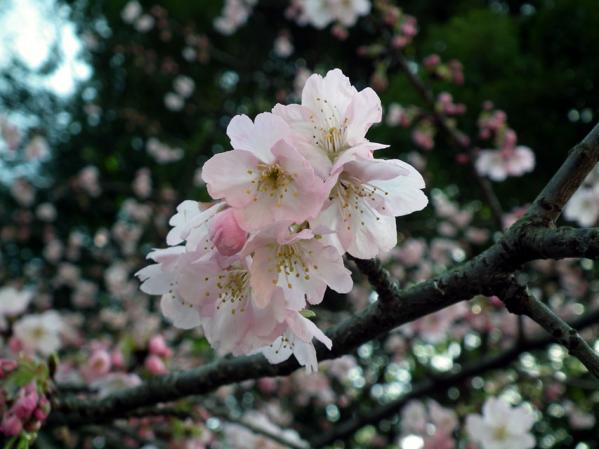 三ッ池公園の寒桜(2)