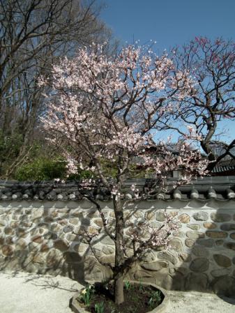 三ッ池公園・コリア庭園前の梅(1)