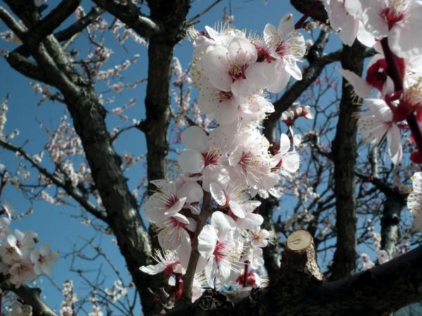 三ッ池公園・コリア庭園前の梅(2)