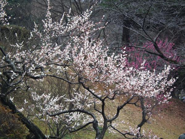 2011年に撮影した大倉山公園梅園の梅