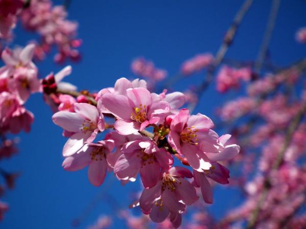 三ッ池公園 紅枝垂桜のアップ
