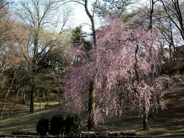 三ッ池公園 枝垂桜