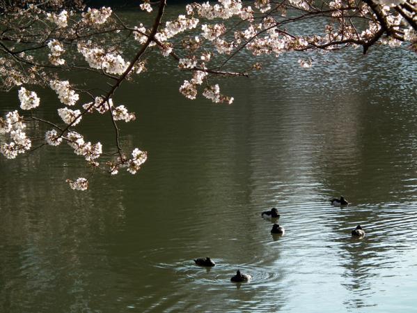 三ッ池公園 湖畔に咲く桜と池に浮かぶカルガモ