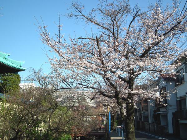 六郷用水路沿いの桜
